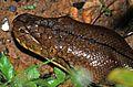 Reticulated Python (Broghammerus reticulatus) (7783867710).jpg