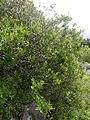 Rhamnus crenulata kz1.JPG