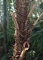 Rhapis humilis kz02.jpg
