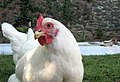 Rhode Island White hen.jpg