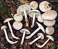 Rhodocollybia maculata (Alb. & Schwein.) Singer 268480.jpg