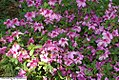 Rhododendron Bonanza 2zz.jpg