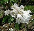 Rhododendron wightii 01.jpg