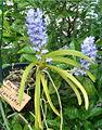 Rhynchostylis coelestis OrchidsBln0906b.jpg
