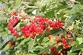 Ribes rubrum (red) Hedemora 02.jpg