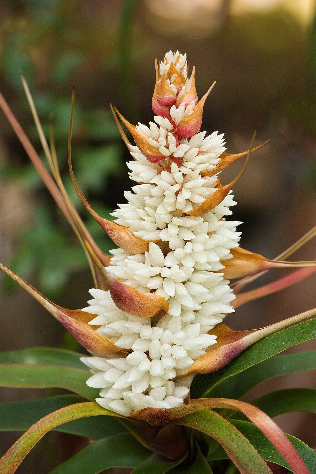 richea dracophylla