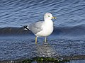 Ring-billed Gull 03.jpg