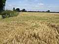 Ripening barley by Windle Farm - geograph.org.uk - 473804.jpg