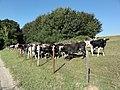 Riville (Seine-Mar.) pré à vaches.jpg