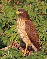 Roadside hawk (Rupornis magnirostris) immature 2.jpg