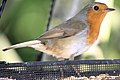 Robin - May 2009 (3559861685).jpg