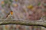 Robin - RSPB Sandy (30952382500).jpg