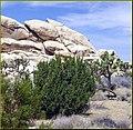 Rock PIle and Climber, J.Tree NP 4-13-13a (8661294996).jpg