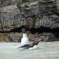 Rockhopper Penguins swimming (5565672530).jpg