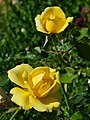 "Rosa ""Gold Bunny"", ""Gold Badge"" o MEIgronuri. 02.jpg"