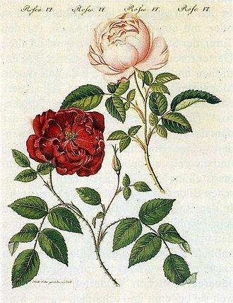 Rosa chinensis - Image: Rosa chinensis 1795