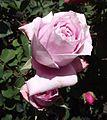 Rosa pretty jessica.jpg