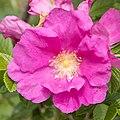 Rosa rugosa 11.jpg