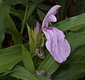 Roscoea purpurea Nico 120819PM.jpg