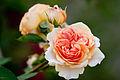Rose, Charles Austin2.jpg