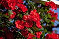 Rose, Cl. Sarabande.jpg