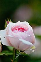 Rose, Masako (Eglantyne)2.jpg