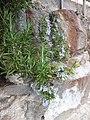 Rosemary flowers.JPG