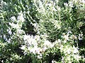 Rosmarinus officinalis with bees.JPG