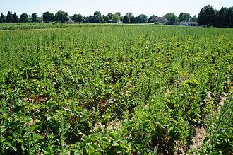 Belleville, Michigan - Belleville Area Strawberry Fields