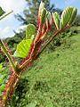 Rubus ellipticus - Yellow Himalayan Raspberry at Mannavan Shola, Anamudi Shola National Park, Kerala (10).jpg