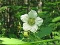Rubus parviflorus 1-eheep (5097952208).jpg