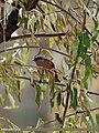Rufous-backed Redstart (Phoenicurus erythronotus) (15709055437).jpg