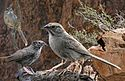 Rufous-crowned Sparrow From The Crossley ID Guide Eastern Birds.jpg