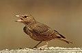 Rufous-tailed Lark Ammomanes phoenicura by Dr. Raju Kasambe DSCN5048 (1).jpg