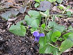 Ruhland, Grenzstr. 3, Duftveilchen im Garten, blau blühend, Frühling, 02.jpg