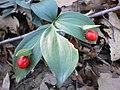 Ruscus hypoglossum L. 2.jpg