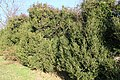 SB VSCC boxwood restoration at Mulberry Hill (16149936332).jpg