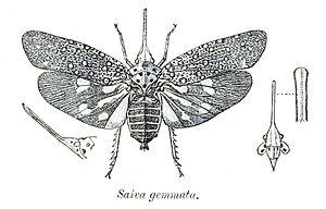 Saiva - Saiva gemmata