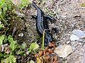Salamandre Alpestre.jpg