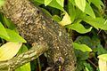 Salix-moupinensis-bark.jpg
