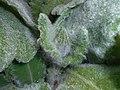 Salvia argentea 2016-05-17 0515.jpg