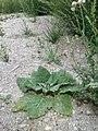 Salvia sclarea sl3.jpg