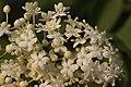 Sambucus nigra (27460265005).jpg