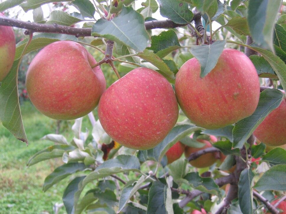 Sampion cultivar