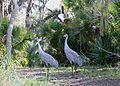 Sandhill Cranes at Hontoon Island.jpg
