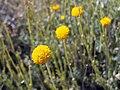 Santolina rosmarinifolia subsp. canescens FlowersCloseup2 SierraNevada.jpg
