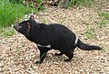 Sarcophilus harrisii - Copenhagen Zoo - DSC08987.JPG