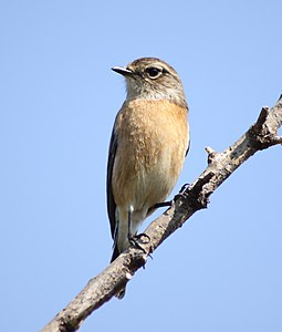Saxicola torquatus -South Africa -female-8.jpg