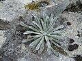 Saxifraga longifolia 1.JPG