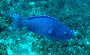 Blue parrotfish - Blue parrotfish in Madagascar Reef.